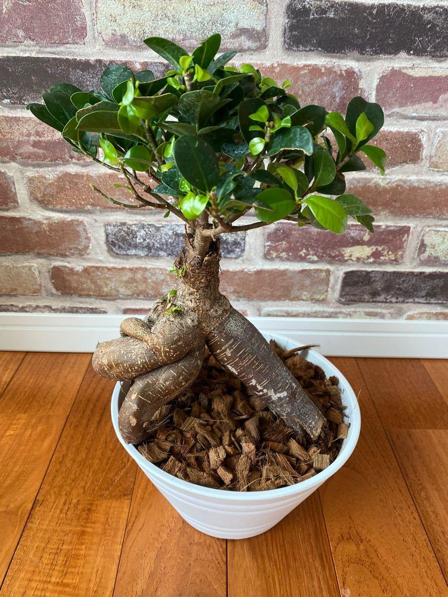 観葉植物 多幸の木 ガジュマル ガジュマルの木 7号鉢5