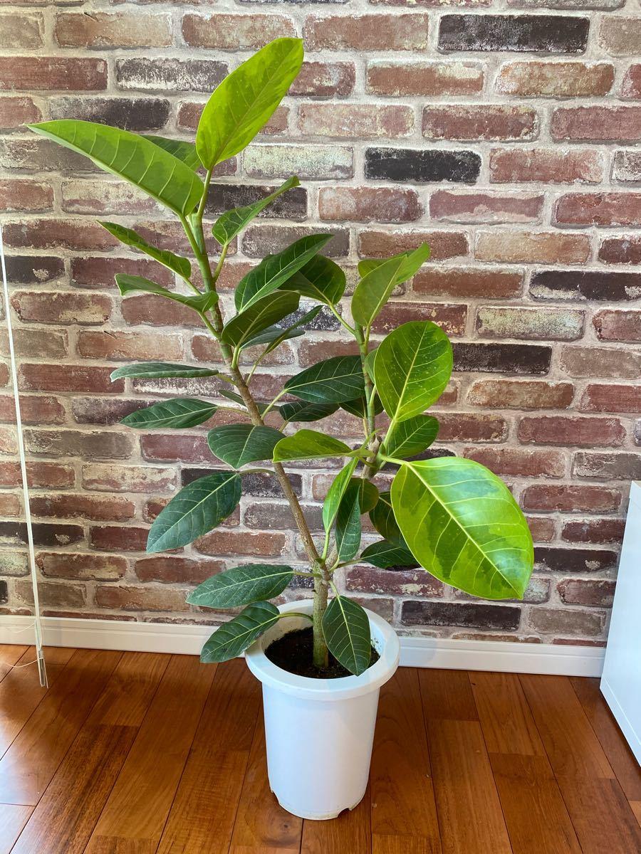 観葉植物 幹太 フィカス アルテシーマ  (アルテシマ) 100cm