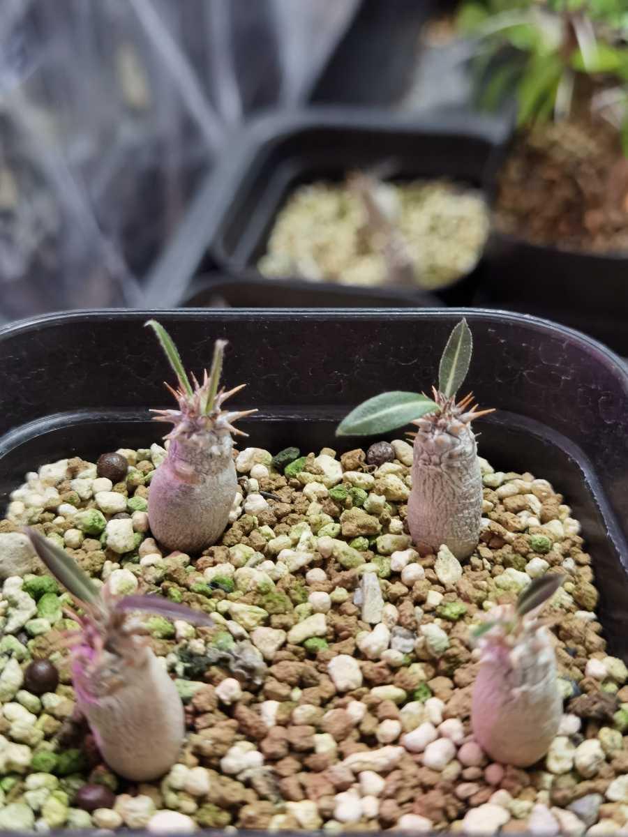 パキポディウム グラキリス 実生4株/塊根植物 多肉植物_画像3