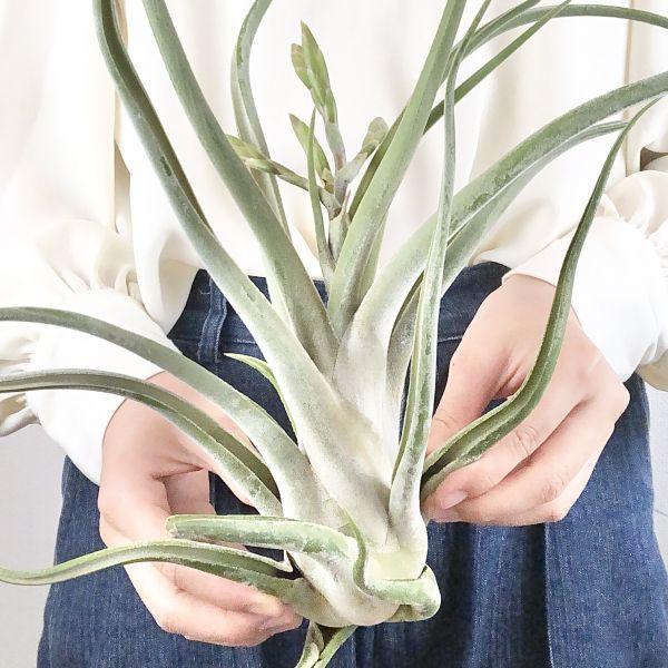 【T6231】花芽付き! カプトメデューサ ジャイアント エアープランツ ティランジア チランジア Tillandsia_画像2