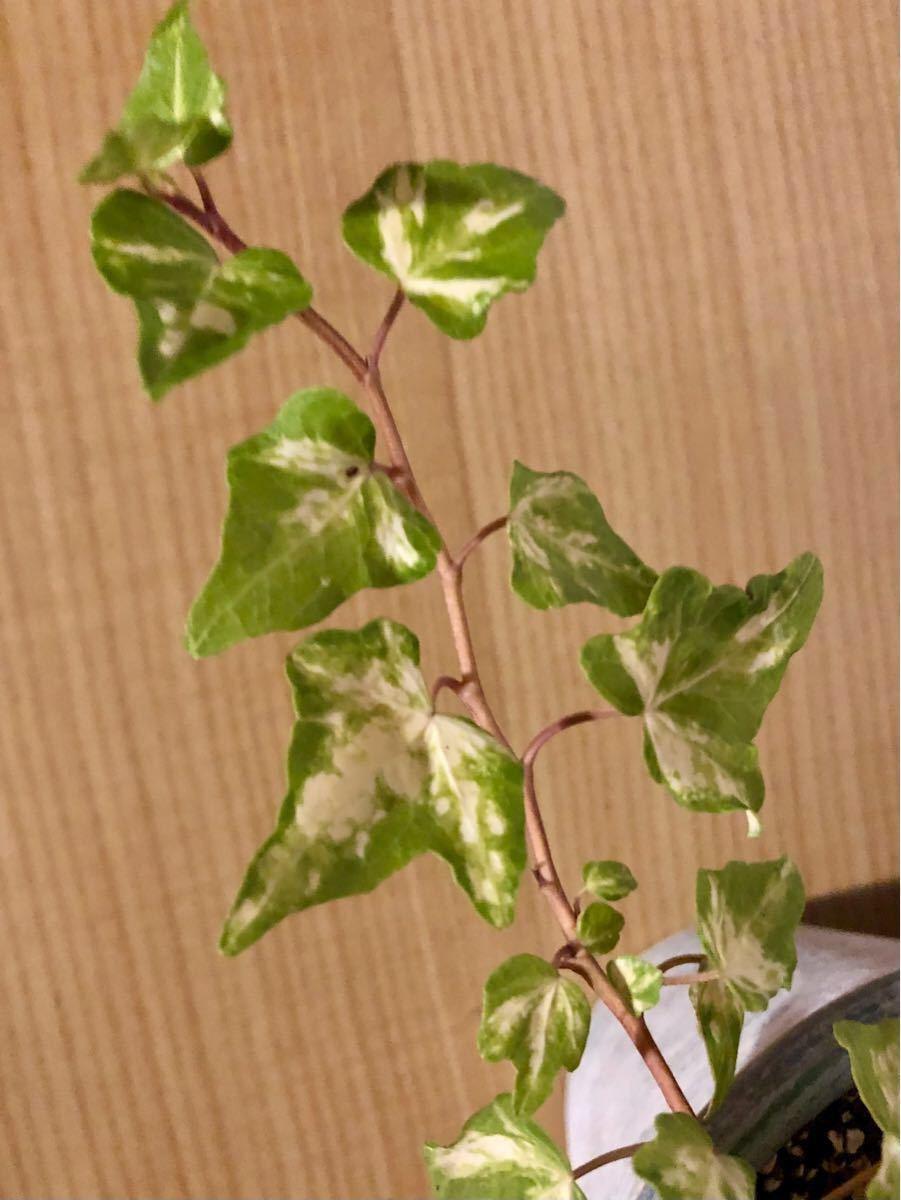 観葉植物 アイビー ヘデラ ゴールデンジィッタ 抜き苗