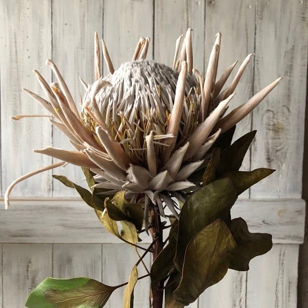 キングプロテア アークテックアイス 1本50cmドライフラワー花材 そのままインテリアやスワッグ 撮影小道具などに ワイルドフラワー_画像3