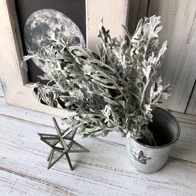 白妙菊 ダスティーミラー5本セット 約25㎝ ドライフラワー花材 ハーバリウム スワッグにおすすめ 星月猫_画像4