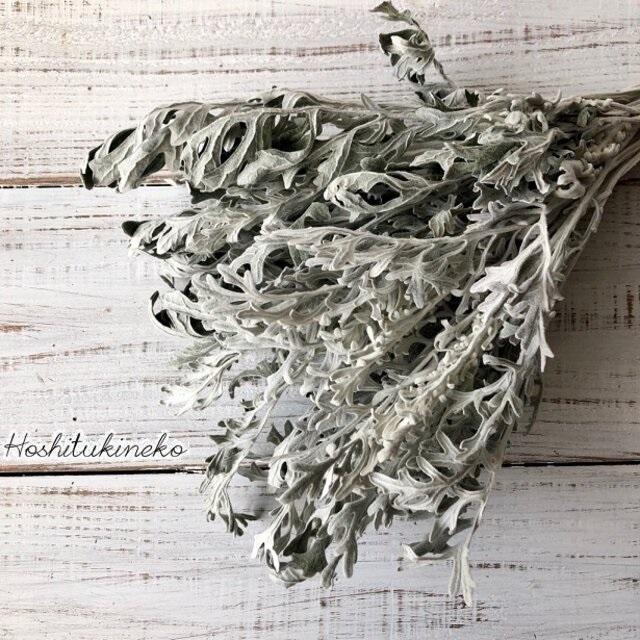 白妙菊 ダスティーミラー5本セット 約25㎝ ドライフラワー花材 ハーバリウム スワッグにおすすめ 星月猫_画像1