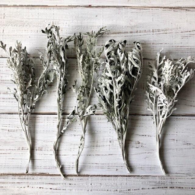 白妙菊 ダスティーミラー5本セット 約25㎝ ドライフラワー花材 ハーバリウム スワッグにおすすめ 星月猫_画像3