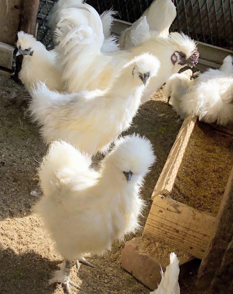 烏骨鶏 アローカナ 鶏 有精卵 平飼い卵 _画像2