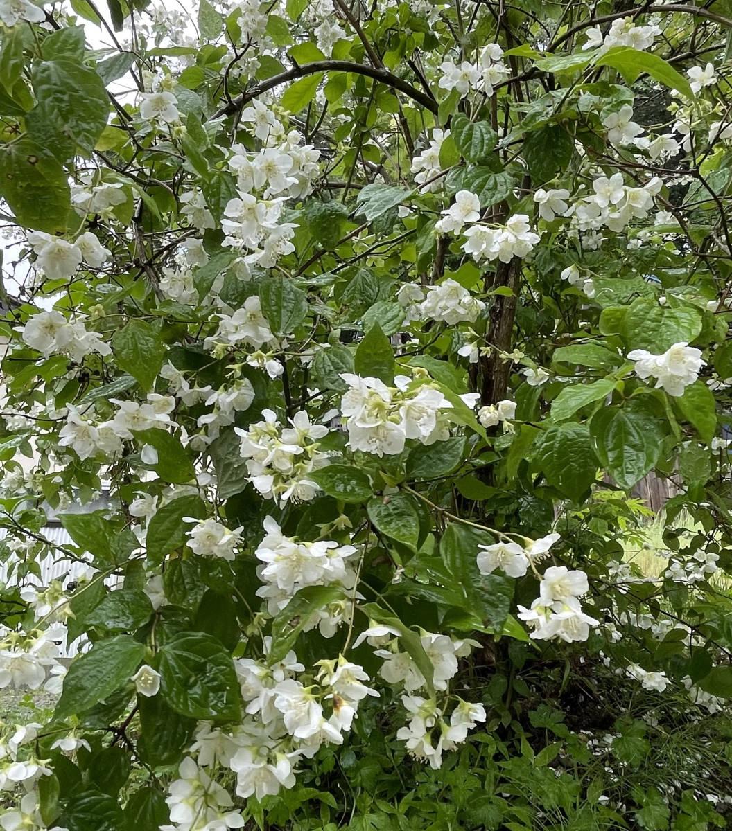 梅花空木 バイカウツギ 4本 ■送料無料 クリックポスト(梅や桜の花に似た花)挿木 用 庭園木 低木 ガーデニング 華やか_画像3
