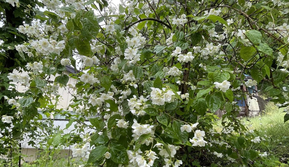 梅花空木 バイカウツギ 4本 ■送料無料 クリックポスト(梅や桜の花に似た花)挿木 用 庭園木 低木 ガーデニング 華やか_画像2
