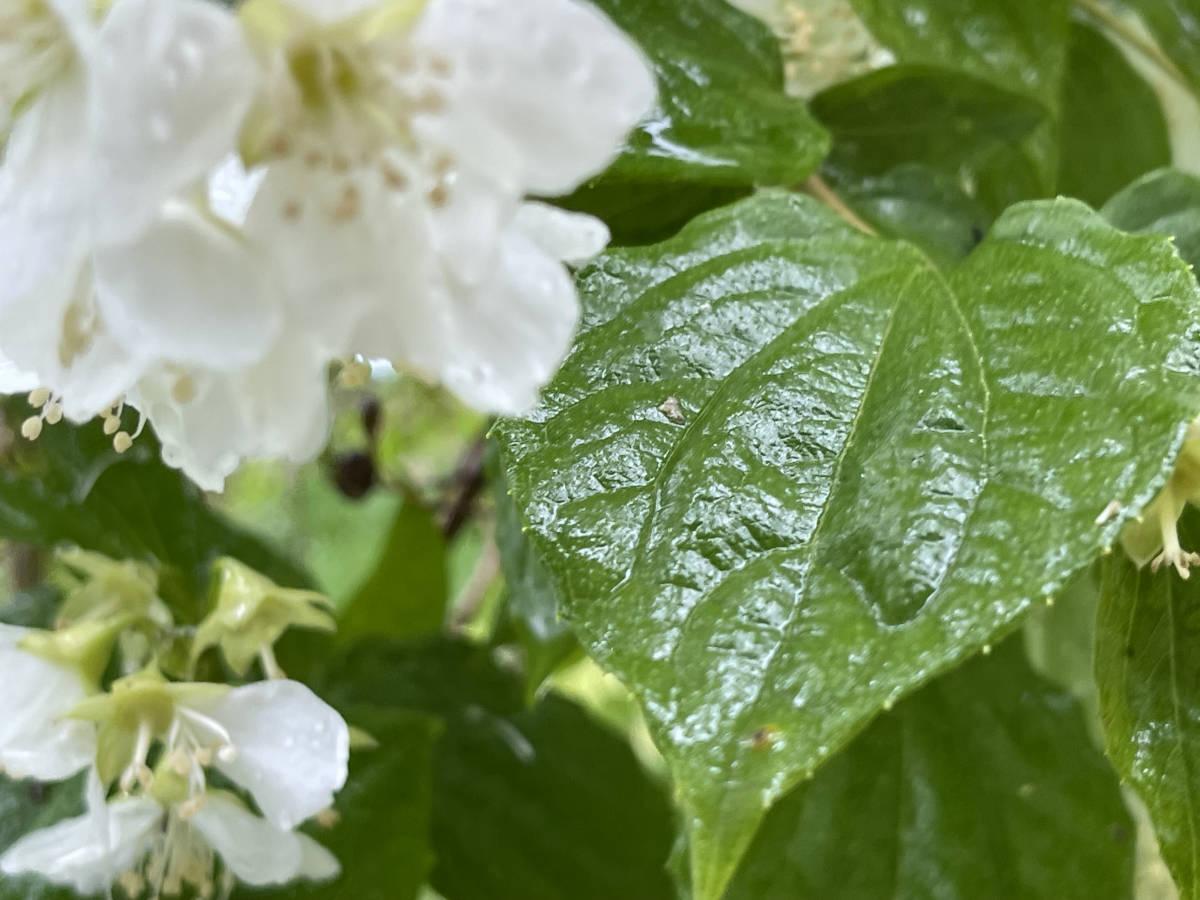 梅花空木 バイカウツギ 4本 ■送料無料 クリックポスト(梅や桜の花に似た花)挿木 用 庭園木 低木 ガーデニング 華やか_画像5