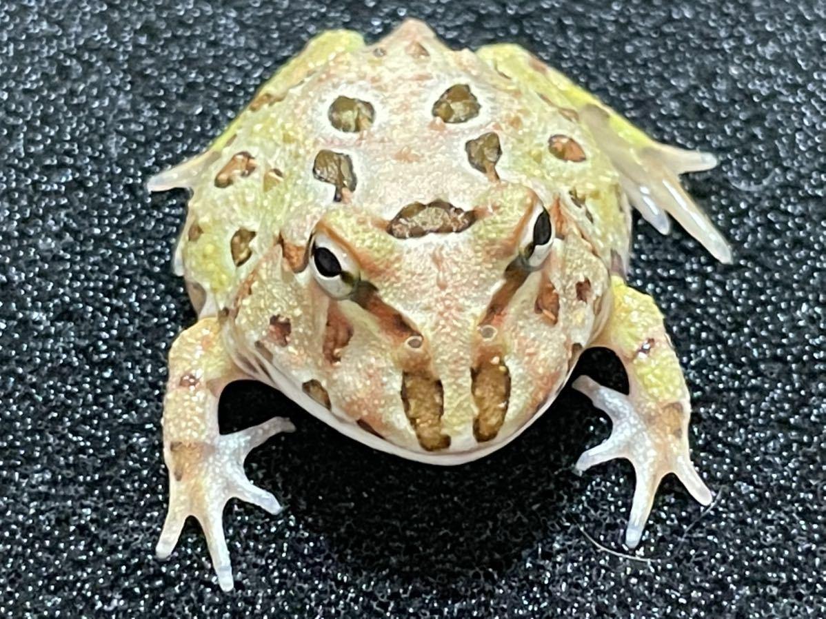 【Bears Frog】クランウェルツノガエル ミックスカラー ③オリジナルステッカー付き!_画像4