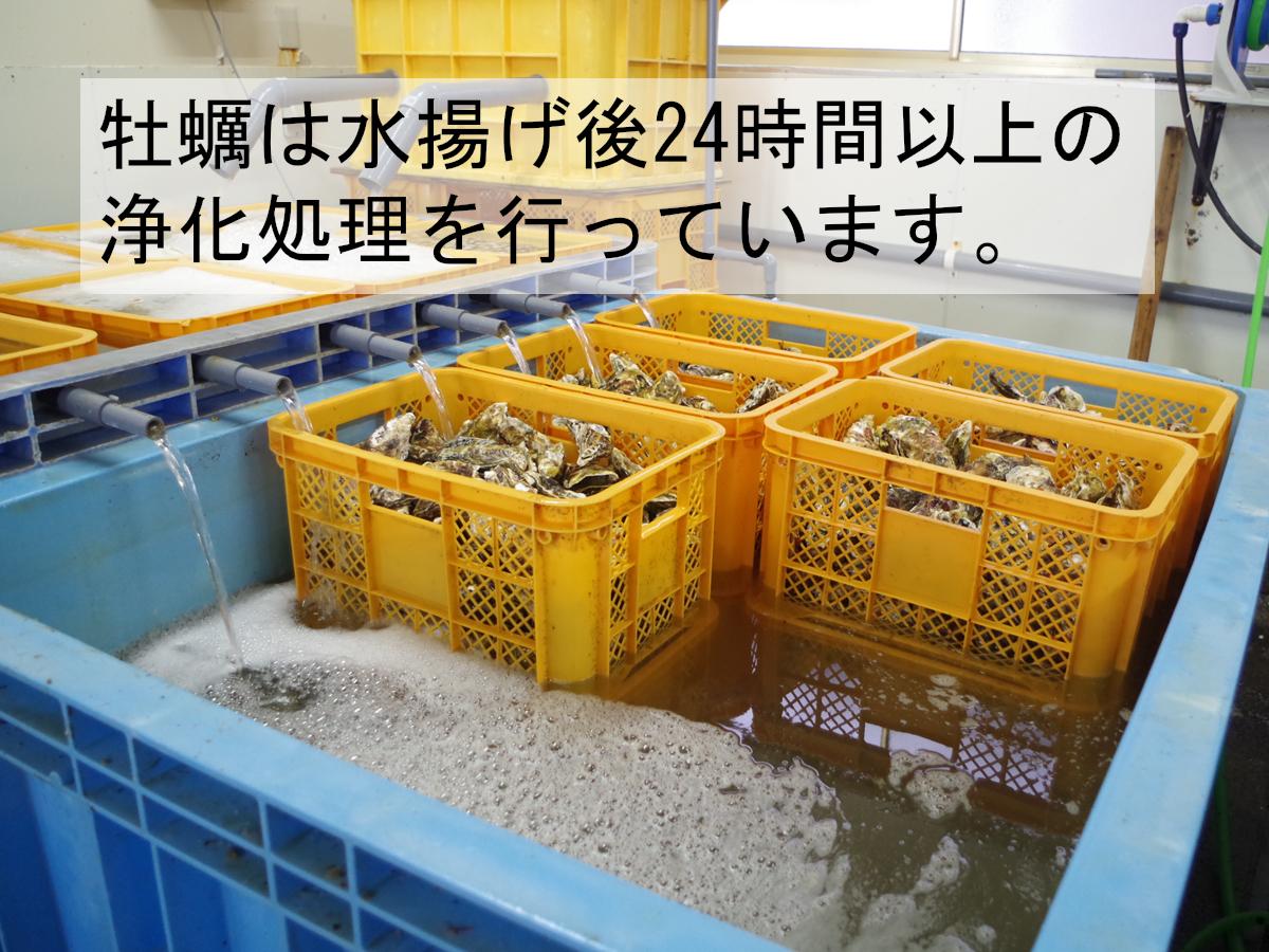 【産地直送】冷凍殻付き牡蠣 加熱用 Lサイズ 12kg(90~100個程度) 宮城県女川産 牡蠣ナイフ、軍手付き COL-OO12_31_画像3