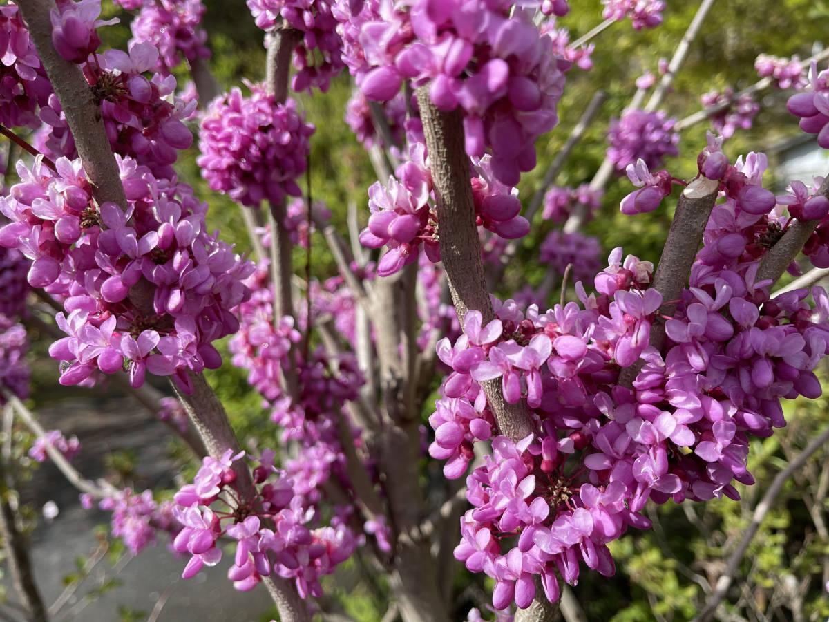 ハナズオウ 挿し穂 3本 ■送料無料 花蘇芳(低木 庭園木)紅紫色 葉がハート型 美しい色 /早い便 クリックポスト発送_画像9