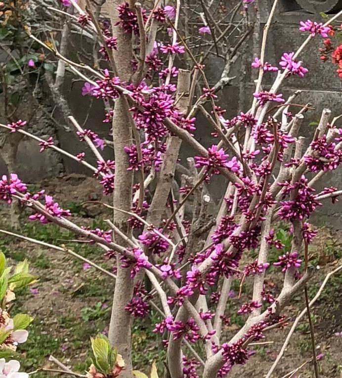 ハナズオウ 挿し穂 4本 ■送料無料 花蘇芳(低木 庭園木)紅紫色 葉がハート型 美しい色 /早い便 クリックポスト発送_画像5