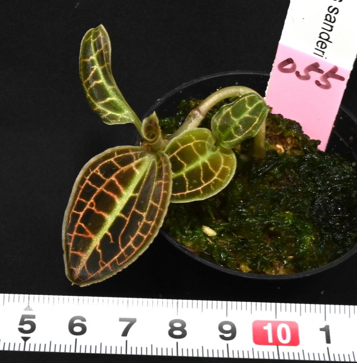 洋蘭原種 (055)2芽 ジュエルオーキッド 綺麗な色がでてきました。Macodes sanderiana マコデス サンデリアナ_今回出品の株です。