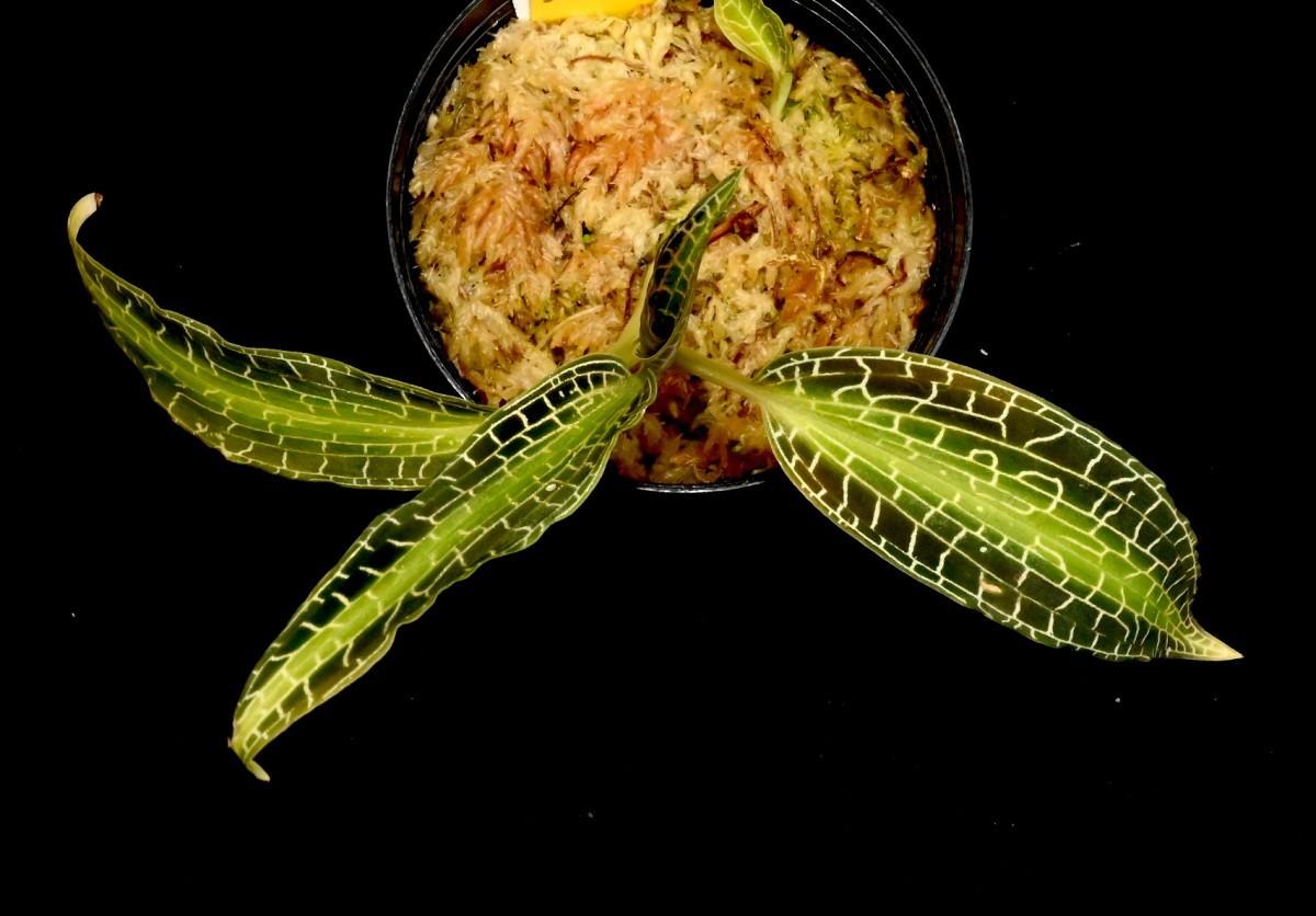 洋蘭原種 (211) ジュエルオーキッド Goodyera malipoensis グッディエラ マリポエンシス_今回出品の株です。