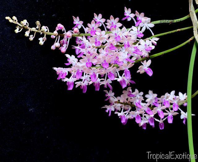 洋蘭原種 (090) Seidenfadenia mitrate Pink セイデンファデニア ミトラータ ピンク_参考開花例です。