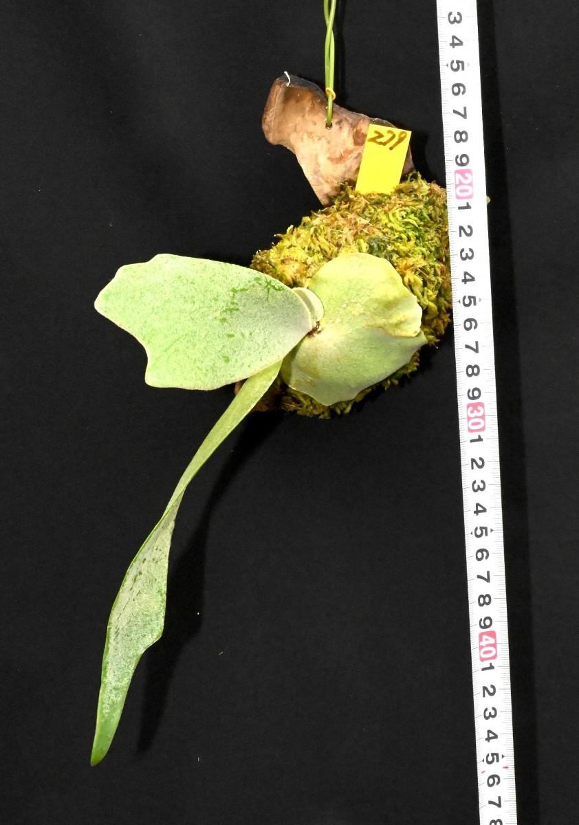 ビカクシダ (279) 流木つき Platycerium willinckii プラティセリューム ウィリンキー_今回出品の株です。