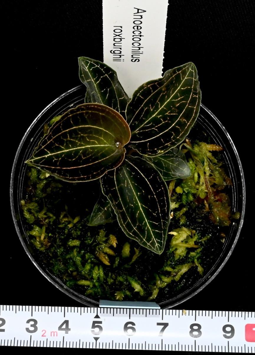 洋蘭原種 (149)ブラックジュエルオーキッド Anoectochilus roxburghii アネクトキラス ロクスバーギー_今回出品の株です。