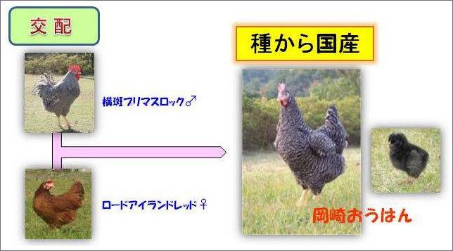 岡崎おうはんの 有精卵 孵化用 4個_画像6