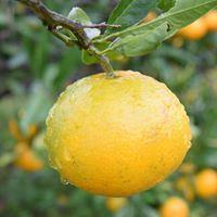 自然栽培 青みかんパウダー(30g)無肥料無農薬で作る究極の自然栽培☆無添加☆熊本県産☆ヘスペリジン(ビタミンp)を豊富に含んでいます♪_画像3