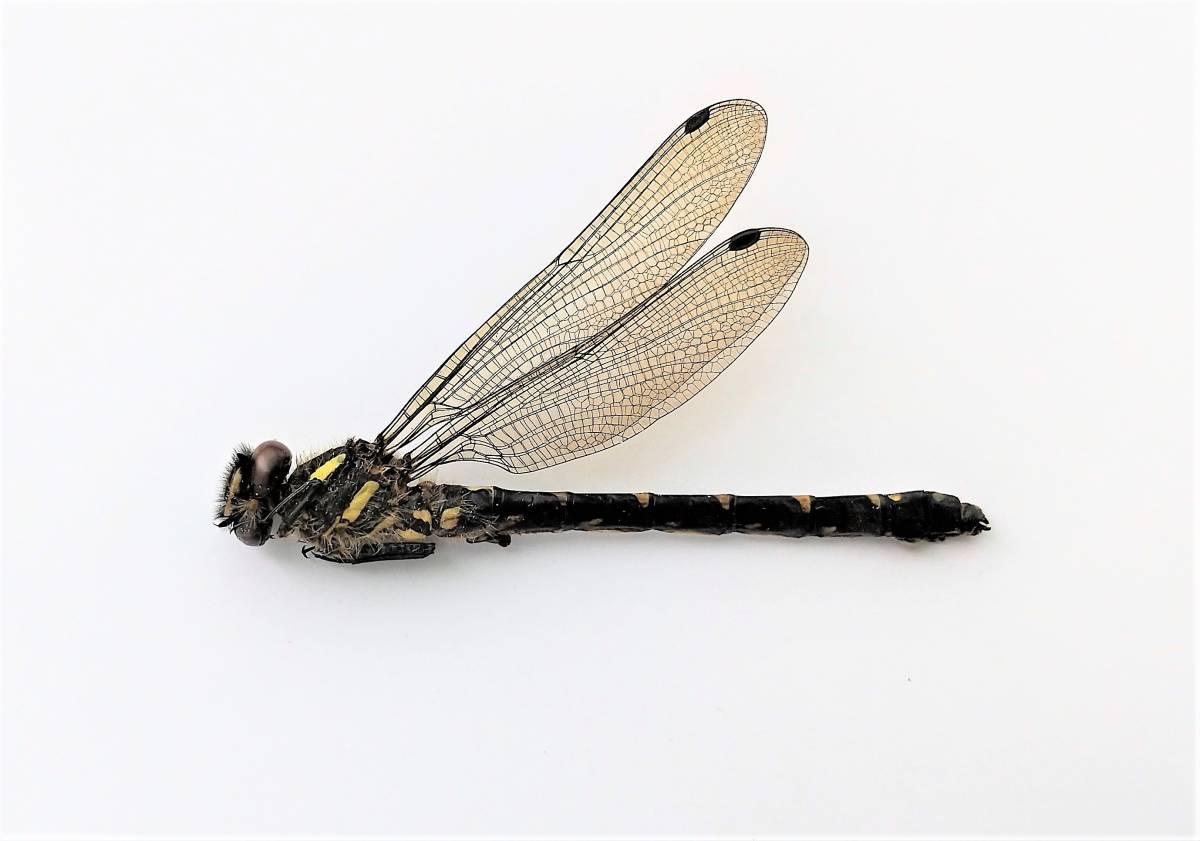 昆虫標本 ムカシトンボ1♂ 2021年茨城県大子町産_画像1