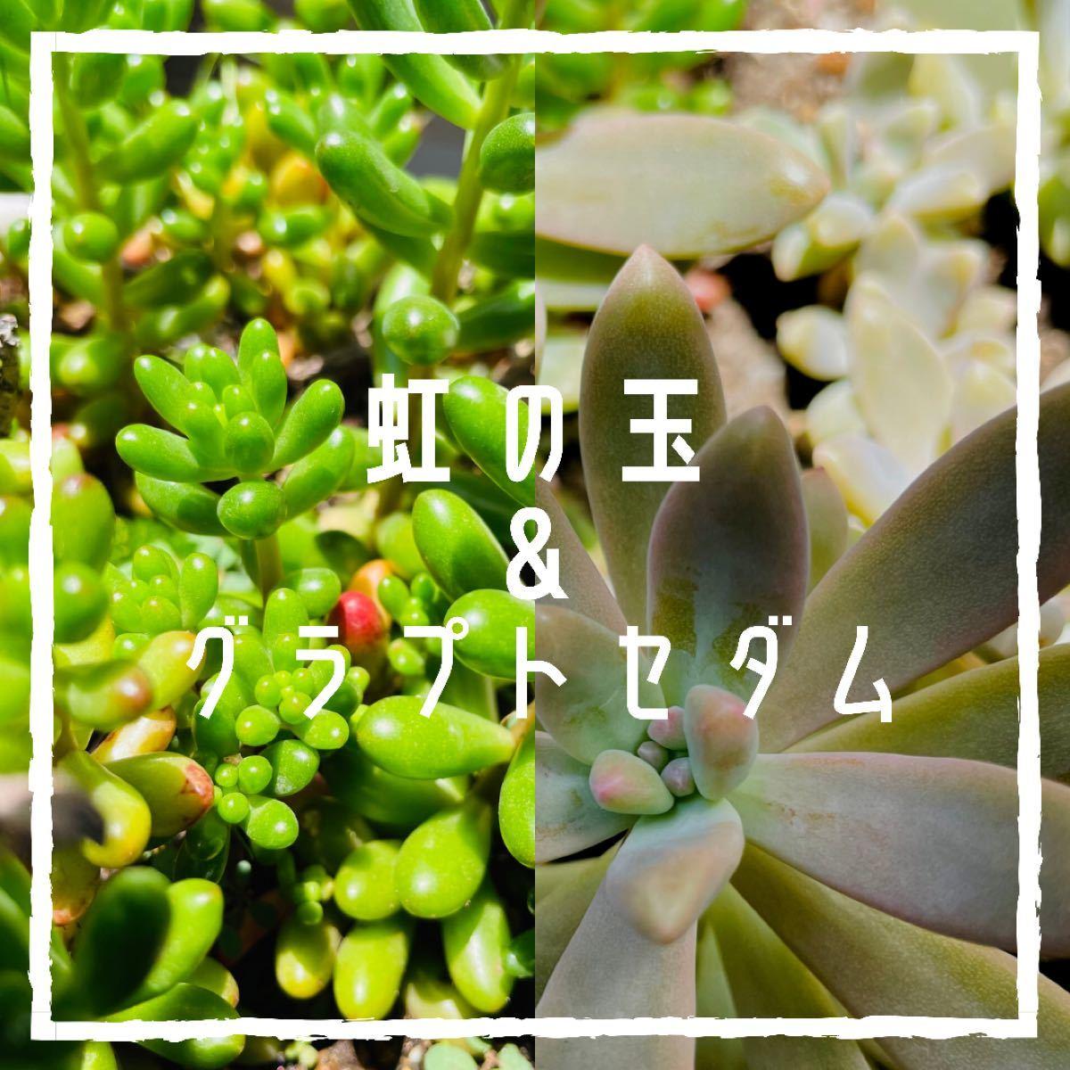 多肉植物 寄せ植えに使えます虹の玉&グラプトセダム 抜き苗 カット苗 各種3本(器無し、ネコポス発送予定)