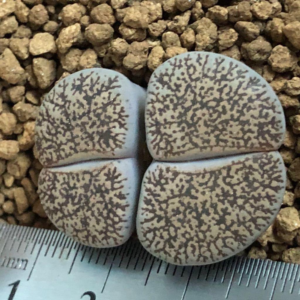 多肉植物 リトープス 白肌ベンテリー_画像2