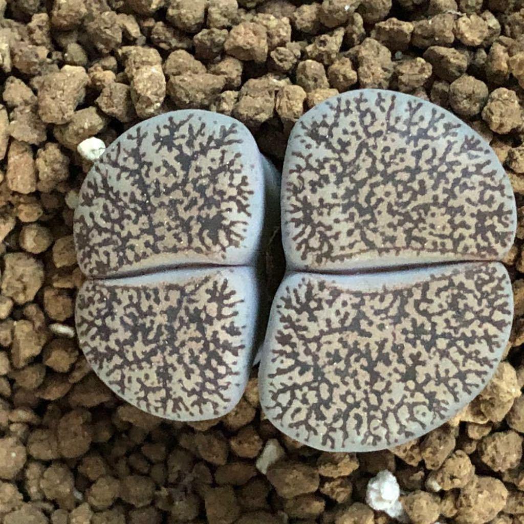 多肉植物 リトープス 白肌ベンテリー_画像1