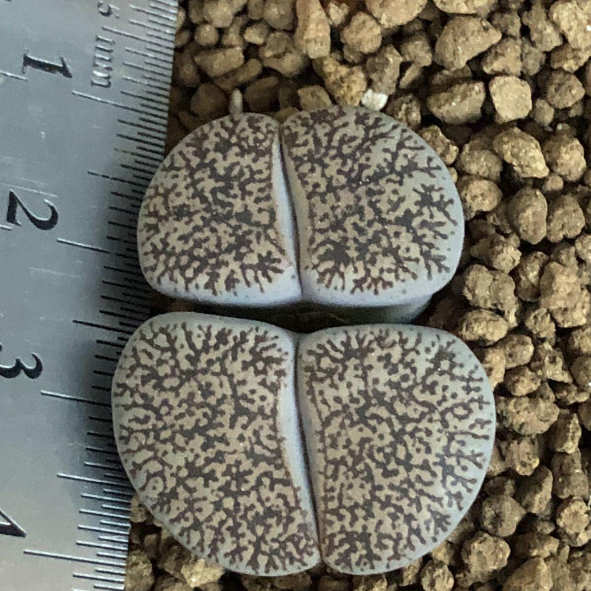 多肉植物 リトープス 白肌ベンテリー_画像3