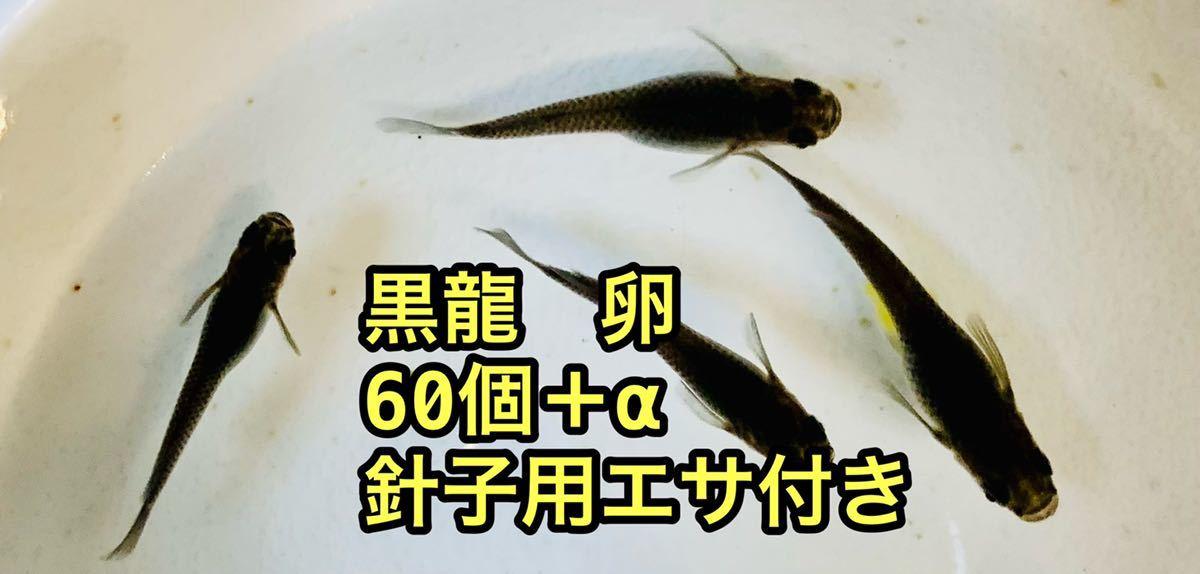 メダカ 卵 60個+α 黒龍 針子用餌付き_画像1
