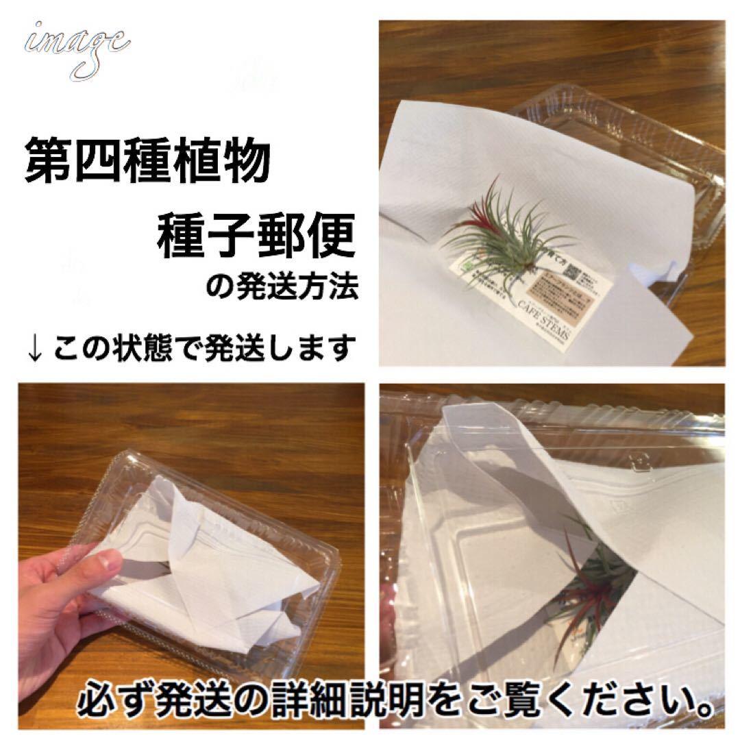 ルドキルス ドミニィ × アネクトキルス ロクスバーギー 2寸 (ジュエルオーキッド Ludochilus Dominyi × Anoectochilus roxburghii)_画像4
