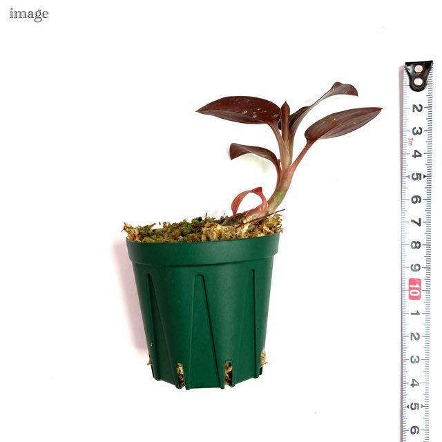 ルドキルス ドミニィ × アネクトキルス ロクスバーギー 2寸 (ジュエルオーキッド Ludochilus Dominyi × Anoectochilus roxburghii)_画像2
