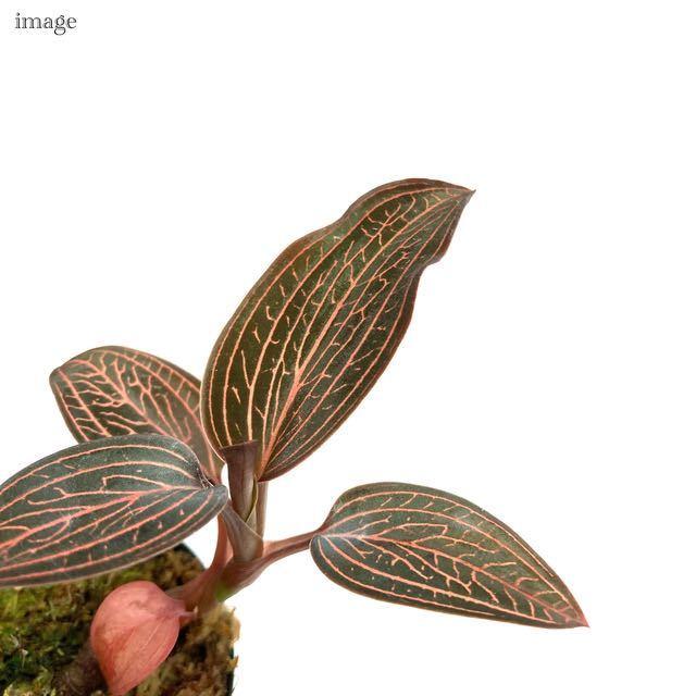ルドキルス ドミニィ × アネクトキルス ロクスバーギー 2寸 (ジュエルオーキッド Ludochilus Dominyi × Anoectochilus roxburghii)_画像3