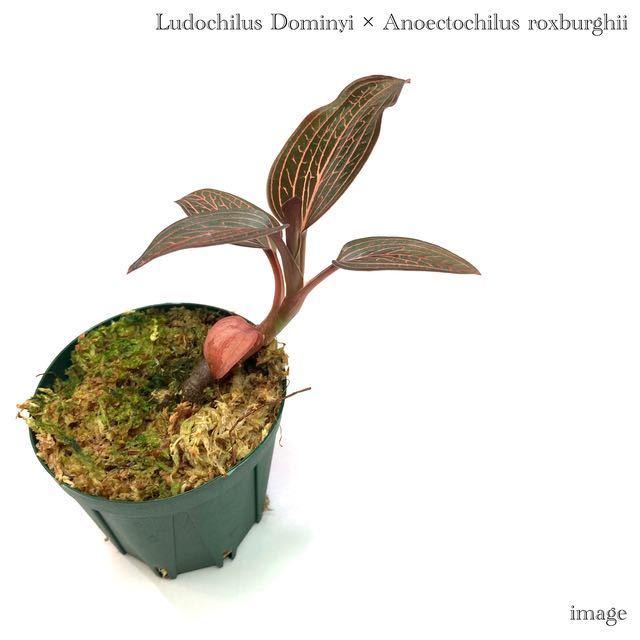 ルドキルス ドミニィ × アネクトキルス ロクスバーギー 2寸 (ジュエルオーキッド Ludochilus Dominyi × Anoectochilus roxburghii)_画像1