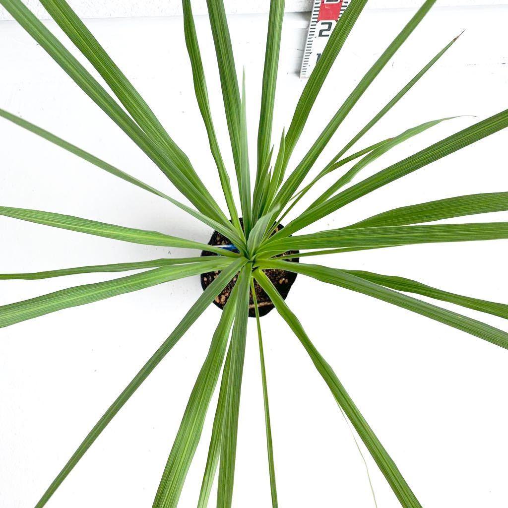 ドラセナ ポット 樹高:約 100cm 庭木 シンボルツリー 植木 ヤシの木 ココスヤシ ガーデニング ニオイシュロラン_画像3