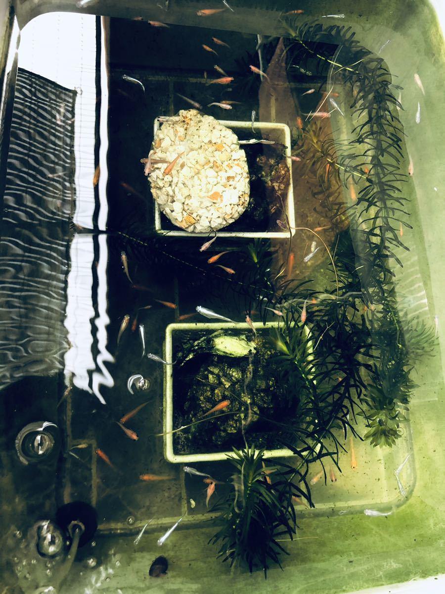 めだか オリジナル 濃縮 PSB 800ml # メダカ、金魚 熱帯魚 淡水魚 クロレラ 稚魚 針子 越冬 栄養 栄養豊富 グリーンウォーター 餌_画像2