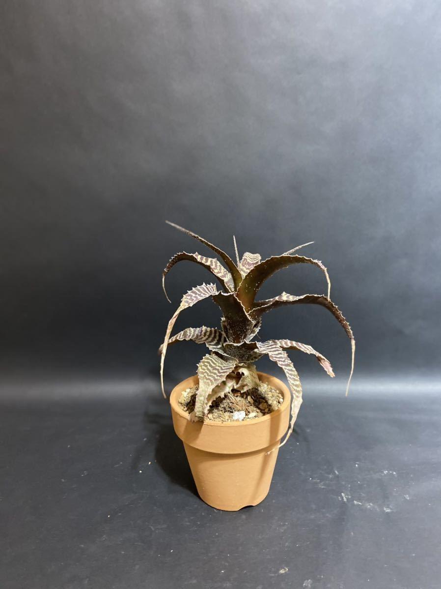 コウモリラン ビカクシダ キッチャクード platycerium Mt.kitshakood リドレイ×コロナリウム ridleyi×coronarium ③ オマケ付き 送料無料