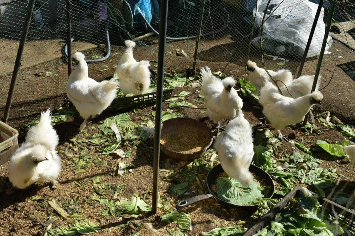 烏骨鶏の有精卵1個150円 ①_画像3
