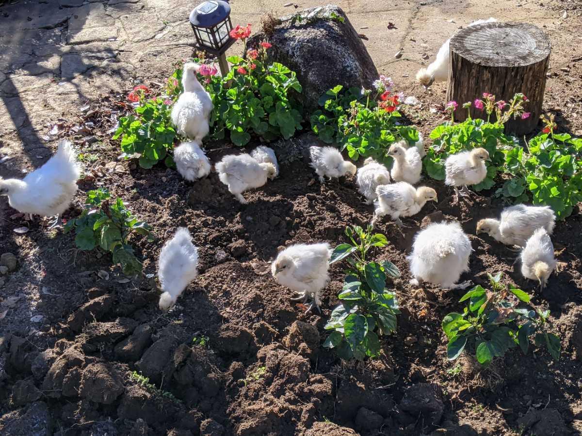 烏骨鶏の有精卵1個150円 ①_画像2