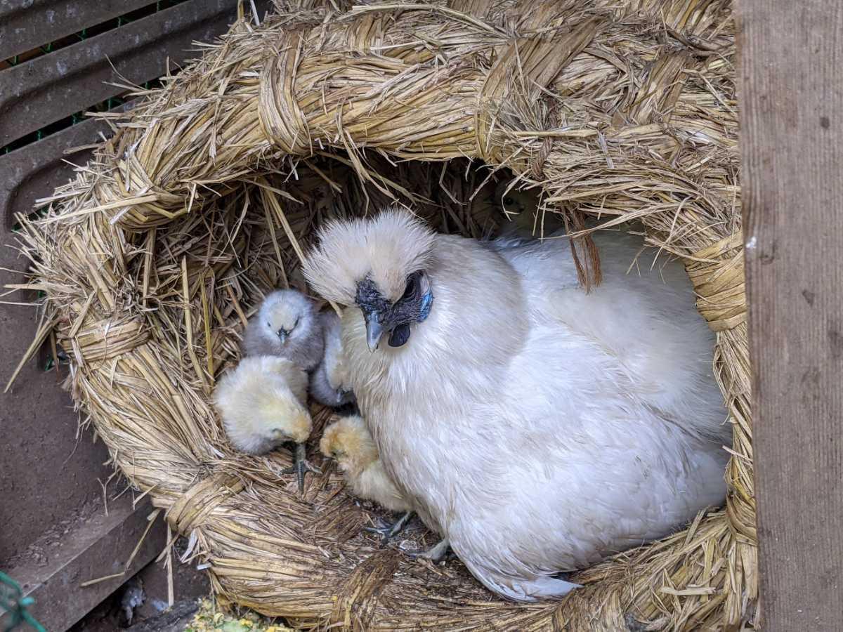 烏骨鶏の有精卵1個150円 ①_画像4