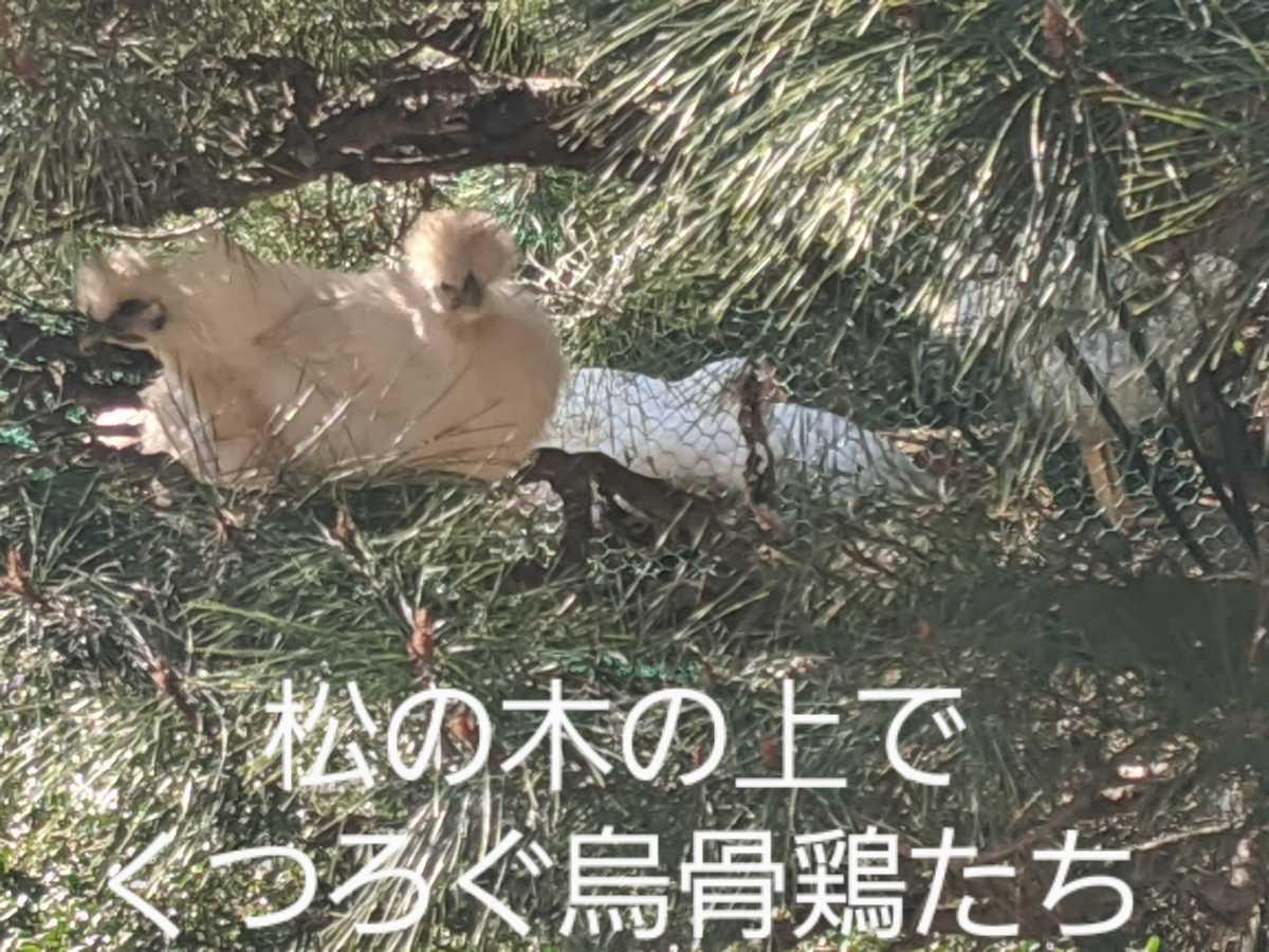 烏骨鶏の有精卵1個150円 ①_画像6