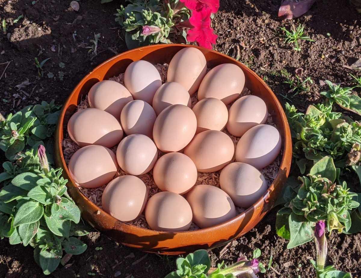 烏骨鶏の有精卵1個150円 ①_画像1