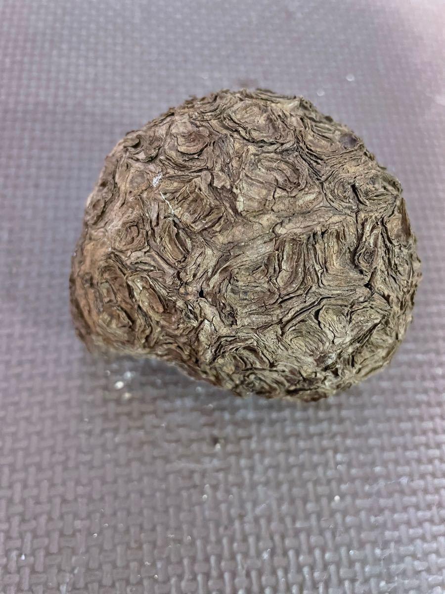 特選株Stephania Nova (kaweesakii) ステファニアノヴァ 塊根植物 caudex 希少種