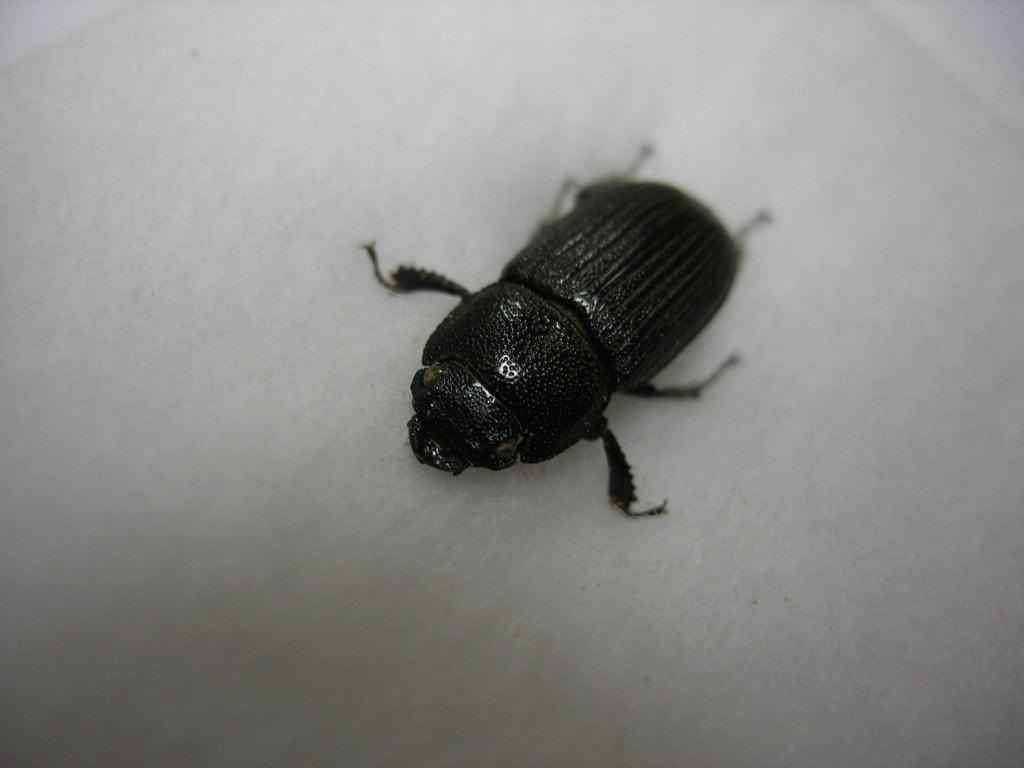 昆虫標本★タイワンネブトクワガタ♀15.5ミリ_画像1
