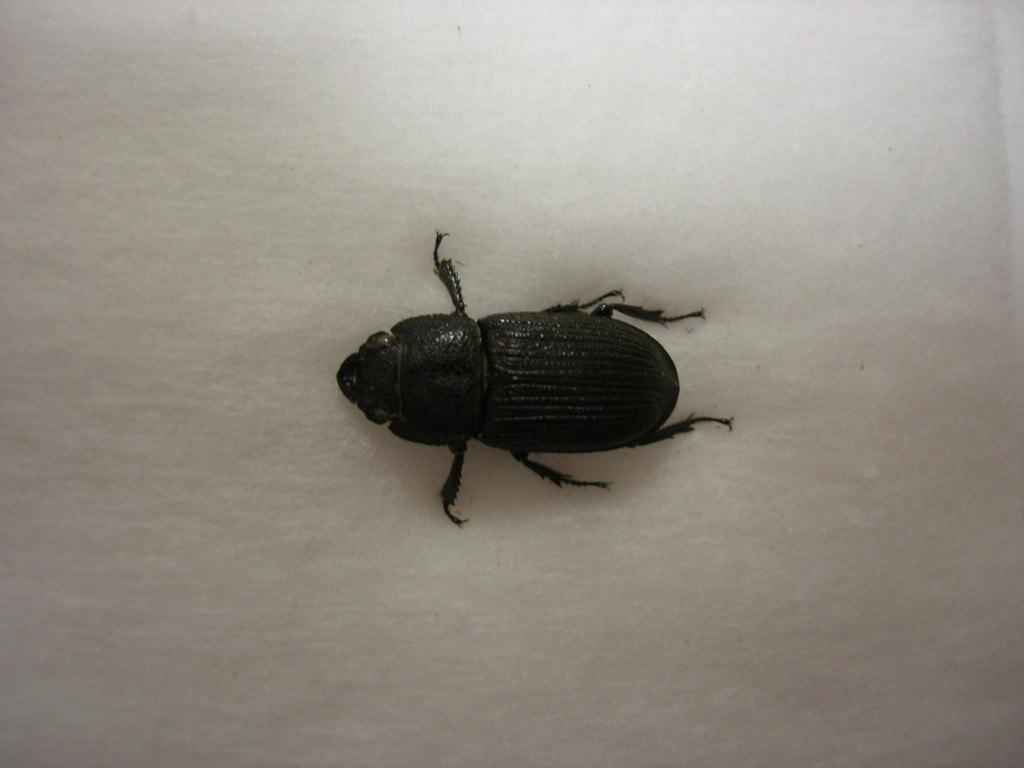 昆虫標本★タイワンネブトクワガタ♀15.5ミリ_画像2