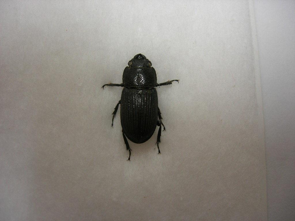 昆虫標本★タイワンネブトクワガタ♀15.5ミリ_画像3