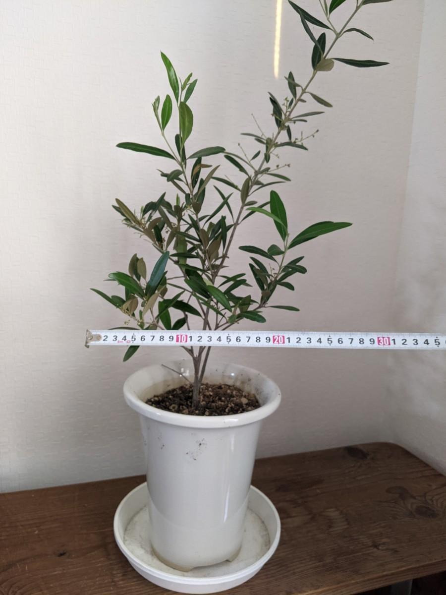 観葉植物 オリーブの木