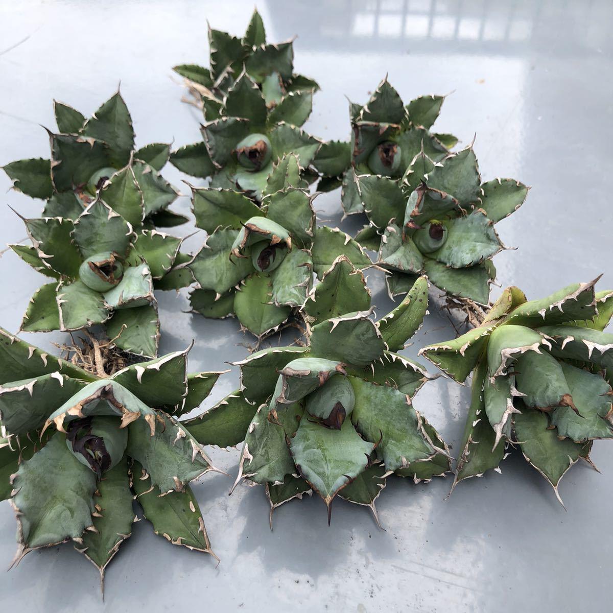 多肉植物 【特選】アガベ チタノタ姫厳竜強棘10株セット
