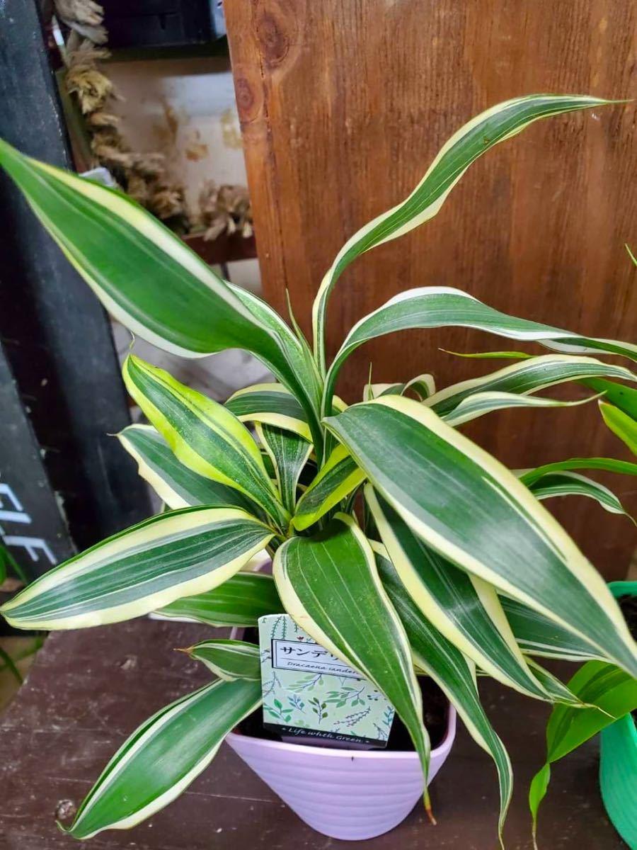 観葉植物サンデリアーナ2種類セット