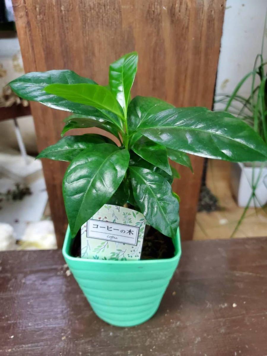 観葉植物 コーヒーの木